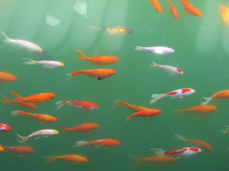 peces en el estanque del parque del buen retiro